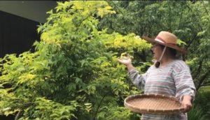エルダーフラワー収穫